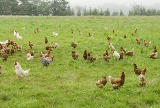 Pasture Poultry: Considerations Before Pasturing Your Flock