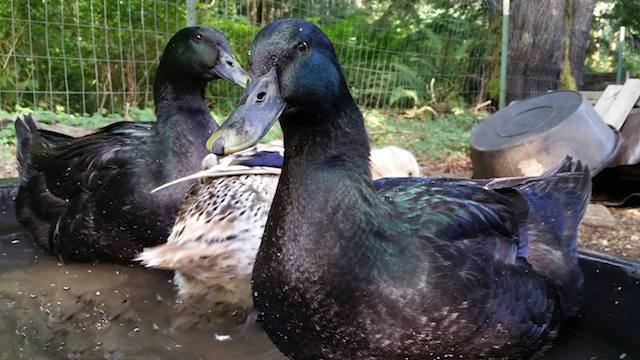 the-best-ducks-for-meat