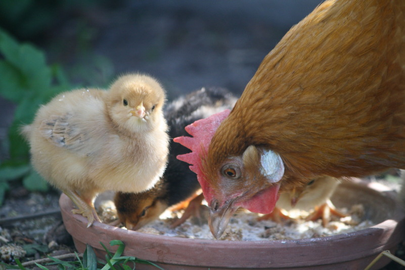 feeding-with-mother-hen