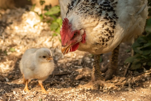 Raising Chicks with Mother Hen