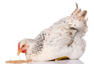 Most Chicken Neurological Diseases are Preventable