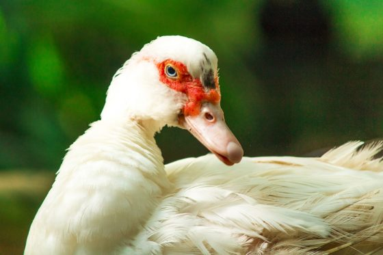 Just Ducky – The Sustainability of Muscovy Ducks